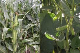 No alcanza al 40% el nivel bueno a excelente de la soja en pie,  mejor está el maíz