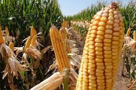 El maíz cayó por cuarta rueda consecutiva en Chicago y alcanzó un mínimo de un mes