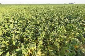 La falta de agua pone en jaque a la soja 2019-2020