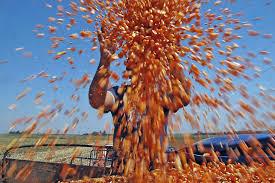 Jornada bajista en el mercado de granos local y en Chicago
