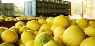 """Suspenden exportaciones de limones a la Unión Europea tras  detectarse lotes con """"Mancha negra"""""""