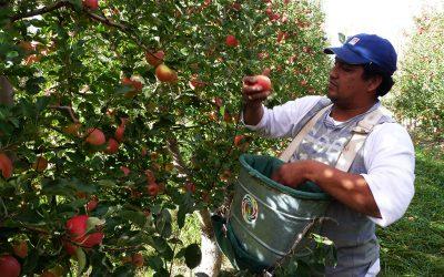 De la cosecha al empaque, las pautas de manejo de la fruticultura en plena pandemia