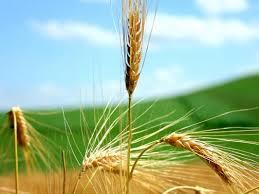 Conociendo de la nutrición de trigo para formar su rendimiento