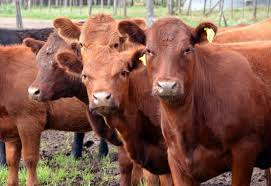El mercado ganadero argentino se encuentra firme