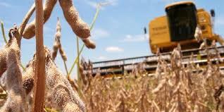 La soja culminó su desarrollo mientras el maíz aún registra lotes que llenan grano