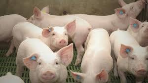 Con los deberes hechos, el sector porcino necesita apoyo
