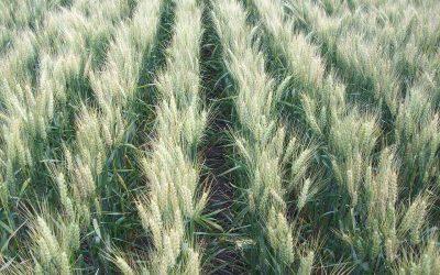Con un blend de variedades, logran el equilibrio entre rendimiento y calidad de trigo