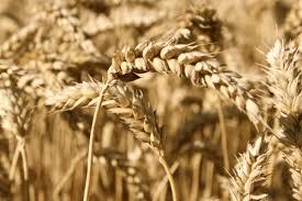 Comenzó la siembra del trigo de la campaña 2020-2021 en el país