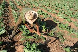 Agricultura transfirió más de 3 mil millones de pesos a pequeños productores tabacaleros