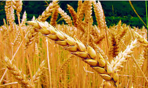 Estado actual del Balance Regional de trigo y primeras perspectivas para el cereal 2020/21