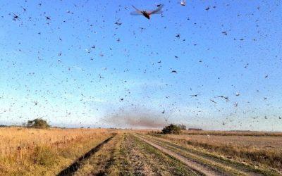 Desde Paraguay, las langostas llegaron a Corrientes y en Córdoba ya están tomando las medidas de protección para evitar la propagación.