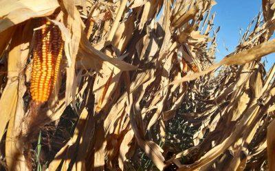 Evalúan el uso de efluentes porcinos como enmienda orgánica en maíz