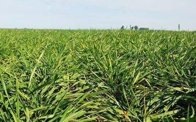 Cultivosdeinvierno: La eficacia de los bioinsumos para lograr un mayor stand de plantas y combatir las enfermedades