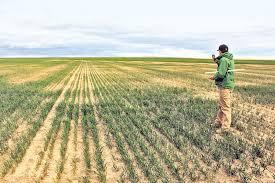 Retrocede el trigo en la Región Núcleo por la sequía: las lluvias no alcanzaron