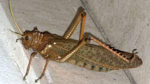 Se dispuso el alerta fitosanitaria por la plaga tucura quebrachera en todo el país