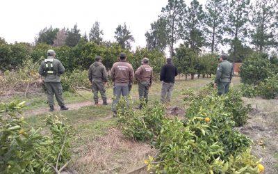 Eliminaron 9 mil plantas cítricas en Corrientes para prevenir el HLB