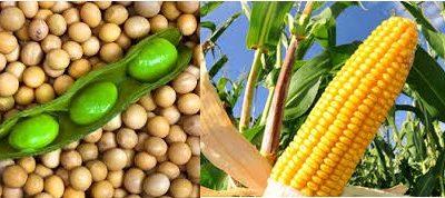 Los precios de maíz y soja de la nueva campaña tocaron máximos esta semana