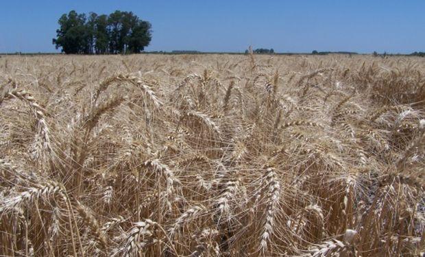 Advierten que el mercado aguarda el trigo 2020/21 mientras que el 40,7% de la superficie sembrada se encuentra en estado regular a malo