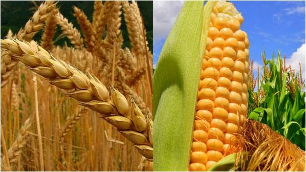 Región núcleo: Si el agua no llega en 15 días, el trigo comenzará a resignar rinde