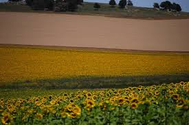 Prevén incremento térmico, acompañado por precipitaciones escasas sobre la mayor parte del área agrícola