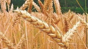 Finalizó la campaña de granos finos y se recolectaron 17 millones de toneladas de trigo
