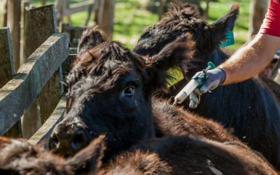 Garrapata bovina: detectan resistencia a la ivermectina