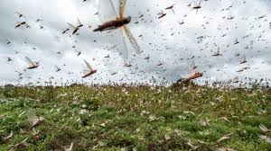 Emergencia de Langostas: Aún estamos a tiempo de controlar la plaga
