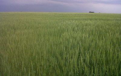 Pautas para maximizar la producción de trigo