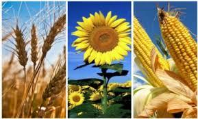 La siembra de girasol bajó en 100 mil hectáreas y el maíz subió  a 7 millones
