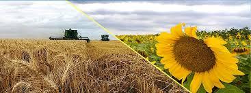 La condición hídrica del girasol y el trigo comienza a mejorar en algunas áreas
