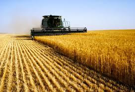Las lluvias destraban la siembra gruesa y frenan el deterioro del trigo