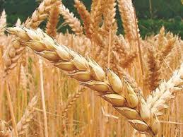 La proyección productiva del trigo cae en 700 mil toneladas  para quedar en 16,8 millones