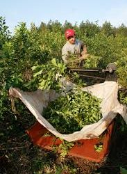El Gobierno oficializó los nuevos precios para la hoja verde de yerba mate y la canchada