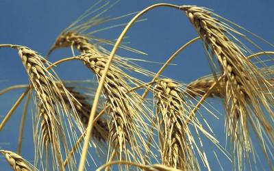 La Bolsa de Comercio de Rosario volvió a recortar la estimación de producción de trigo nacional