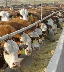 La Argentina ya cuenta con un protocolo de evaluación de bienestar animal en engorde a corral