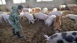 China alerta del primer caso de peste porcina africana en casi tres meses