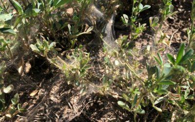 Argentina – Veraneando entre trips y arañuelas en soja