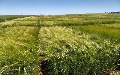 El INTA y Cervecería y Maltería Quilmes impulsan la producción de cebada agroecológica