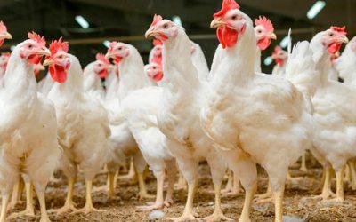 El consumo aparente de carne aviar avanzó un 2,9% en 2020