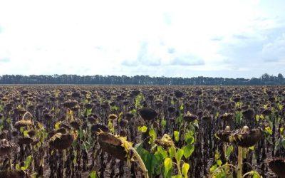 La revancha del NEA: Gracias al empuje del mercado internacional el girasol es un fiesta a pesar de los obstáculos internos