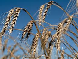 El zinc y los microorganismos mejoran el rendimiento del trigo