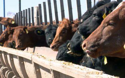 Hay preocupación por la reducción de animales en los feedlots