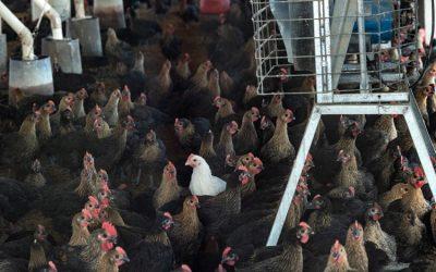 Según nuevo estudio, la tasa de mortalidad de gallinas libres de jaulas declina con el tiempo