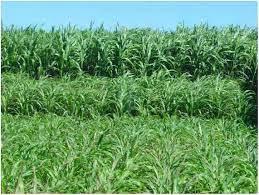 Alternativas innovadoras para lograr un Sorgo granífero de alto potencial