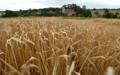 Las lluvias contribuyeron a recuperar el cultivo de cebada