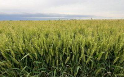 Maximizando el rendimiento y calidad del trigo con genética y nutrición.