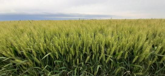 Estado y condición de cultivos (ECC)
