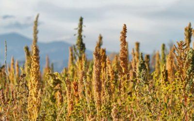 El alimento de más de 5000 años que vive un boom internacional Apenas en los últimos años comenzó en el país la expansión del cereal que tiene un gran potencial no solo en el NOA sino también en otras regiones productivas